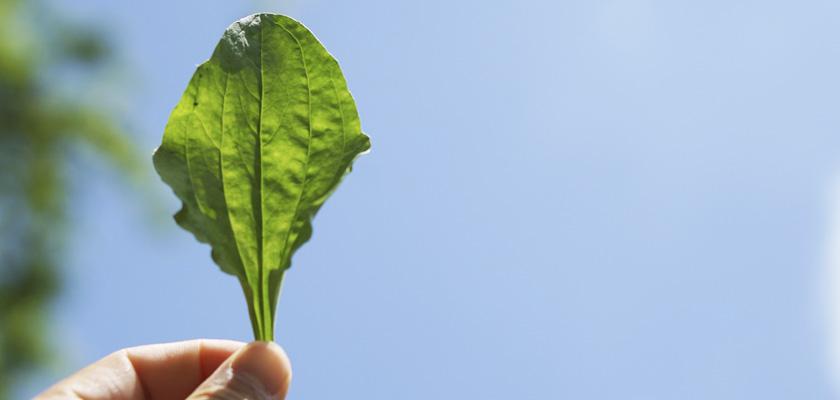 【3日間:オオバコ+カキドオシ編】アースハーバリスト - ネイティブアメリカンのヒーリング、薬草に触れる